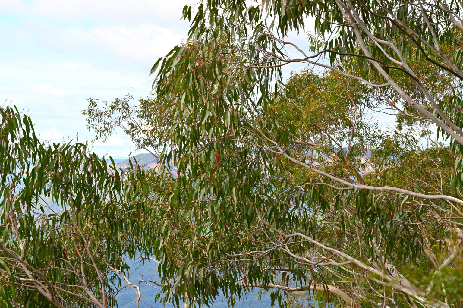 Eucalyptus trees - Jamison Valley