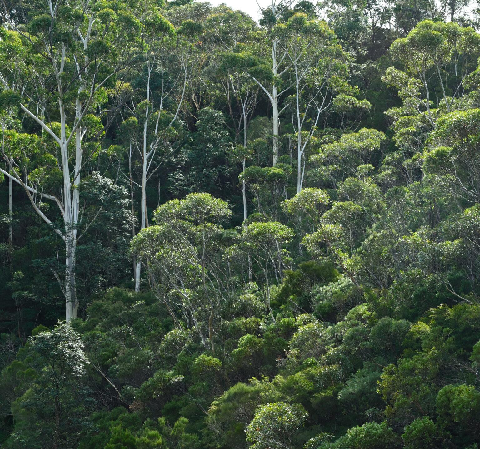 Sunlight on Eucalyptus
